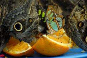 butterflies eating citrus fruit