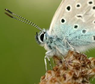 closeup of butterfly face and antenna