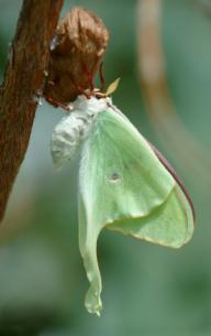luna moth just emerged from cocoon
