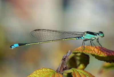 Common Bluetail (Ischnura senegalensis)