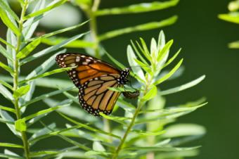monarch butterfly laying egg on milkweek plant