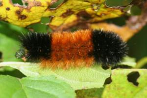 banded woolly bear (isabella moth caterpillar)