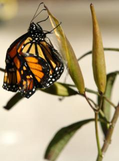 monarch butterfly that just emerged from chrysalis
