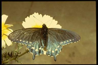 pipevine swallowtail with extended wings