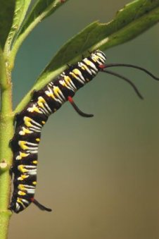 queen butterfly caterpillar on milkweed plant