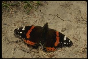 red admiral butterfly with wings open