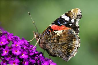 red admiral butterfly with closed wings