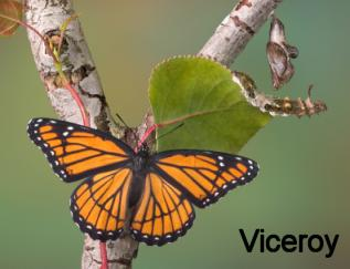viceroy butterfly, caterpillar and chrysalis